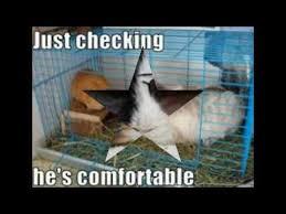 Guinea Pig Meme - the best guinea pig memes ever youtube