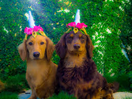 how to make a unicorn headband for your dog doxies down under
