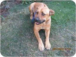 australian shepherd mastiff mix lucy 1 adopted dog wapato wa shepherd unknown type