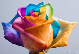 multicolor roses multicolor plant view specifications details of flowering