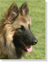 belgian sheepdog what s good about em belgian sheepherd dog belgian shepherd dog images graphics