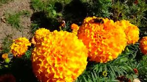 Orange Color by A Bee Collects Nectar On A Yellow Orange Color Flowers In The Sun