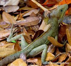 lizards serenity spell