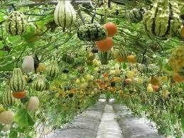 ornamental gourds pictures ornamental gourd vine garden