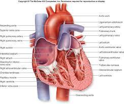 External Heart Anatomy Tag Detailed Anatomy Of Human Heart Archives Human Anatomy Charts