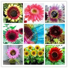 2018 mini rainbow sunflower seeds nine species of pink
