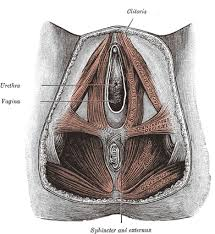 Male Anatomy Perineum The Muscles And Fasciæ Of The Perineum Human Anatomy