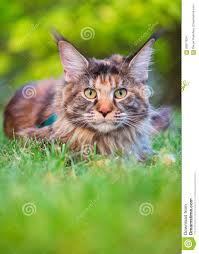 maine coon on grass in garden stock photo image 93877834