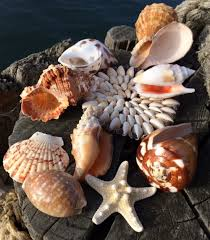 where to buy seashells shells special offers buy seashells from the uk eashell