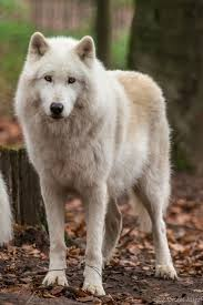 1270 best the beauty of wolves images on pinterest animals