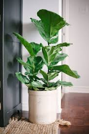 Indoor Plants Low Light by Can U0027t Keep Your Fiddle Leaf Fig Alive Try These Tips