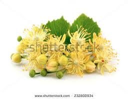 linden flower linden flower stock images royalty free images vectors