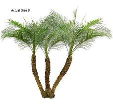 pygmy date palm tree welcome to your local nursery