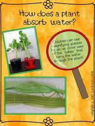 celery experiment celery worksheets and plants