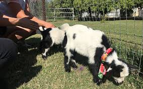 Arizona travelation images Goat yoga on arizona farm delights families cronkite news jpg
