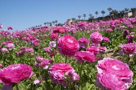 carlsbad flower garden the flower fields 5704 paseo del norte carlsbad ca 92008