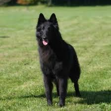 belgian sheepdog gif isengard n sumerwynd nikola u2013 isengard belgian sheepdogs