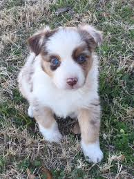 australian shepherd breeders near me australian shepherd and miniature australian shepherd dog breeder