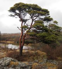 scots pine is through and through news and events