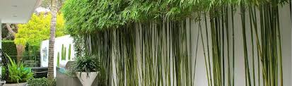 bamboo creations melbourne bamboo nursery bamboo plants