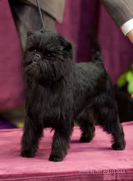 affenpinscher in texas what are the odds your favorite dog breed will win westminster