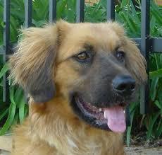 australian shepherd x golden retriever 155 best puppy dogs images on pinterest animals puppies and dogs