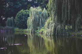 free photo willow tree trees green nature free image on