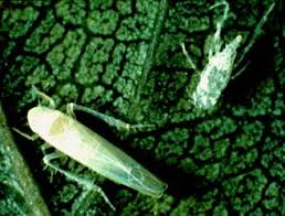 vegetable garden pest identification hubpages