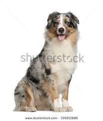 6 week australian shepherd australian shepherd stock images royalty free images u0026 vectors