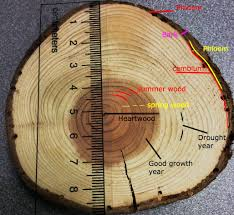 tree rings pictures images Tree rings climate mrlamarr stem jpg
