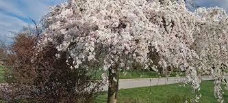 weeping cherry tree pruning doityourself