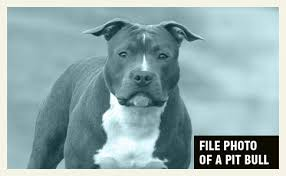 american pitbull terrier 5 months old 2017 dog bite fatality 8 month old baby boy killed by family pit