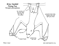flying fox grey headed megabat