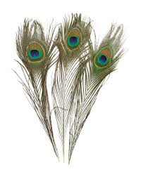 peacock feather fan 100 real peacock feathers 10 to 12