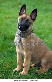 belgian shepherd dog malinois belgian malinois dog sitting stock photos u0026 belgian malinois dog