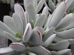 Low Light Succulents by Sng Perennials Santolina Sutera