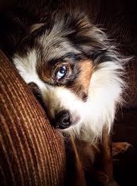australian shepherd blue eyes 256 best dog breed australian shepherd images on pinterest