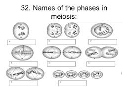 Meiosis Matching Worksheet Answers Chapter 11 Test Review Ppt