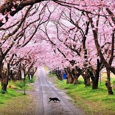 cherry blossom tree facts first cherry blossom festival of india kick starts in shillong 7