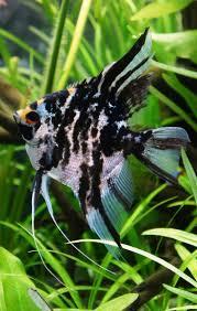 72 best angelfish freshwater images on pinterest angelfish