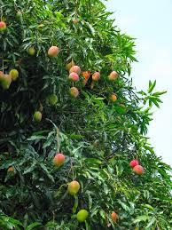 Mango Boom mango s op een mangoboom in het nationale park chapada