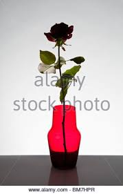 Single Rose In A Vase Flower Vase Shadow Stock Photo Royalty Free Image 1389553 Alamy
