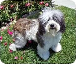 bearded collie adoption liam adopted dog los angeles ca polish lowland sheepdog