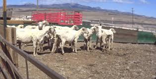 peta responds to patagonia u0027s lack of concern over new sheep