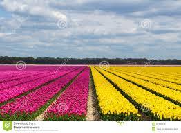 Netherlands Tulip Fields Spring Tulip Fields In Holland Flowers In Netherlands Stock Photo