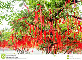 hanging the blessing tree stock photo image 41761151