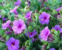 arizona flowers bunch of purple flowers