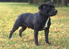 american pit bull terrier history staffordshire bull terrier history u0026 training temperament