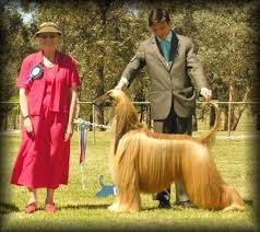 afghan hound breeders victoria fonzie