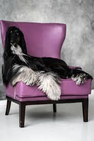 banana joe affenpinscher pedigree 62 best afghan hound mom u0026 pups images on pinterest afghans